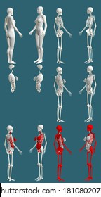 12 in 1, female body with skeleton and internal organs - colored anatomical concept for education - cg high detailed medical 3D illustration isolated