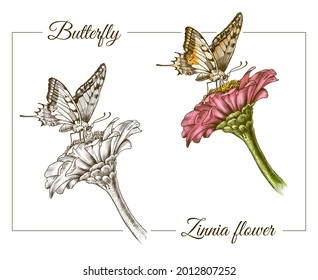 2D digital illustration. Detailed butterfly illustration in hand-drawn style. Butterfly with zinnia flower on white background.