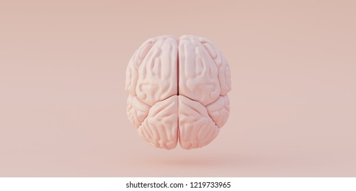 3 d illustration. Human anatomy. Realistic three-dimensional model of the human brain model isolated on a light background. Left and right hemisphere of the brain. Render. view from above ,Top view