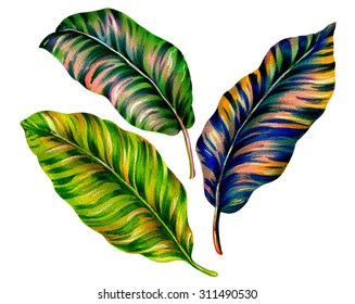 3 isolated tropical leaves. Striped calathea leaf, with vibrant colors, very elegant and detailed botanical illustration, vintage retro style. Exotic plant, design elements, floral motives on white.
