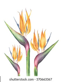 3 watercolor exotic and tropical strelitzia (bird of paradise) flowers. Botanical illustration. Isolated on white
