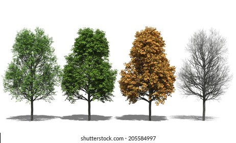 3D computer rendered illustration Acer platanoides Four Seasons