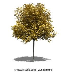 3D computer rendered illustration Robinia pseudoacacia Umbraculifera autumn