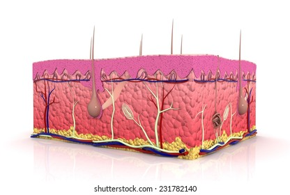 3d cross section of Skin in white background