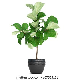 3D digital render of Ficus isolated on white background