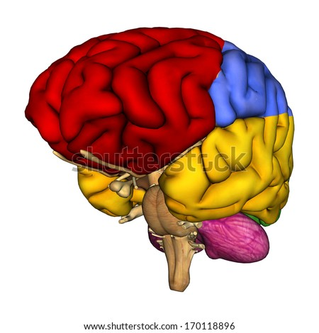 3 d digital render human brain diagram stock illustration 1701188963d digital render of a human brain diagram isolated on white background