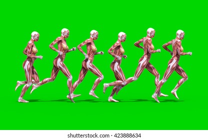 3D digital render of a running female anatomy figure with muscles map isolated on green background