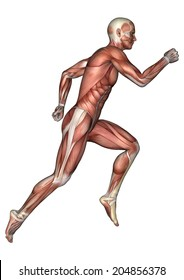 3D digital render of a running male anatomy figure with muscles map isolated on white background