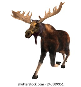 3D digital render of a  running moose (North America) or Eurasian elk (Europe), or Alces alces, isolated on white background