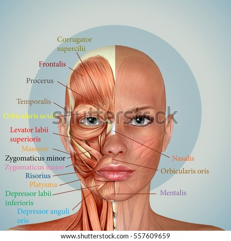 Facial Anatomy Diagram Woman - Data Wiring Diagrams •