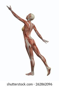 3D female figure with muscle map in reaching pose