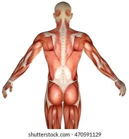 3d human anatomy torso back muscles