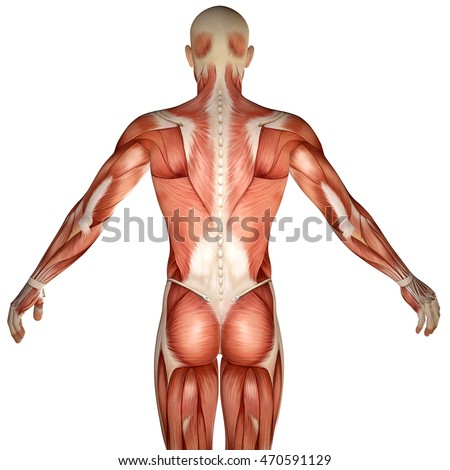 3 D Human Anatomy Torso Back Muscles Stock Illustration 470591129 ...