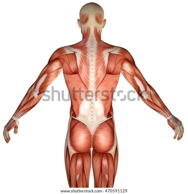 3d Human Anatomy Torso Back Muscles Stock Illustration 470591129