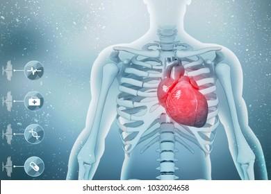 3d illustration  Anatomy of Human Heart