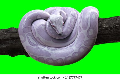 3d Illustration Boa Constrictor The World's Biggest Snake Isolated on Green Background with Clipping Path. Albino Anaconda.