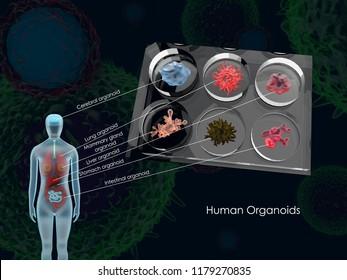 3d illustration of common human organoids