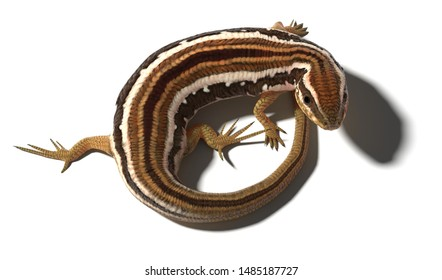 A 3d illustration of a common skink curled in a circle on a white background, looking up.