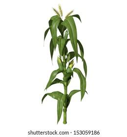 3d Illustration of a Corn Stalk.