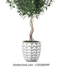 3D illustration decorative Ficus benjamina in a pot Isolated on a white background