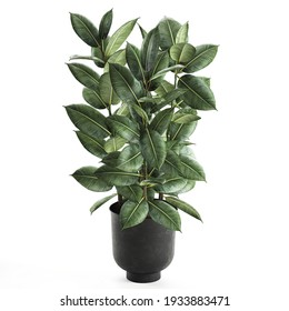 3D illustration decorative Ficus elastica in a flowerpot Isolated on a white background