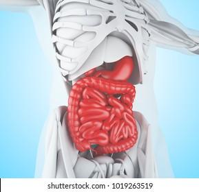 3d illustration. Digestive System, anatomy detail