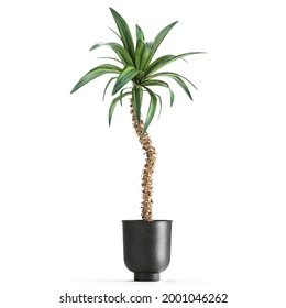 3D illustration of Dracaena in a rusty flowerpot isolated on white background
