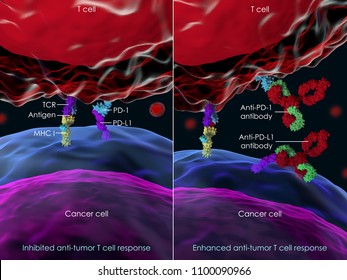 3d illustration of enhancing T cell antitumor toxicity through blocking of PD-1, or PD-L1