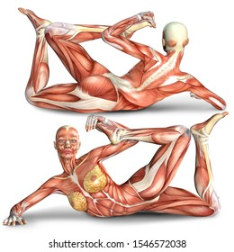 3d illustration of  female body muscles anatomy in exercising pose  with front and back view