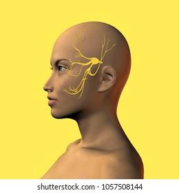 3D illustration of female face with trigeminal nerve