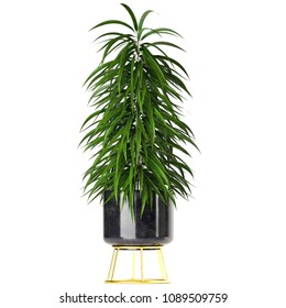 3d illustration Ficus Alii in pot