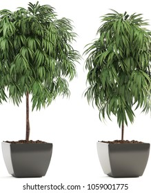 3D illustration of Ficus Alii in pots