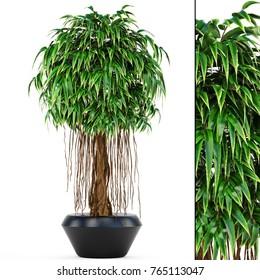 3d illustration Ficus Alii trees