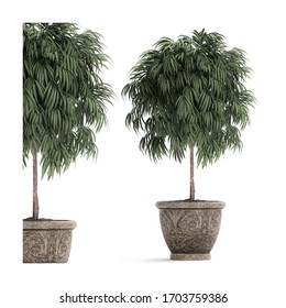 3D illustration Ficus trees in classic flowerpots for the street isolated on white background