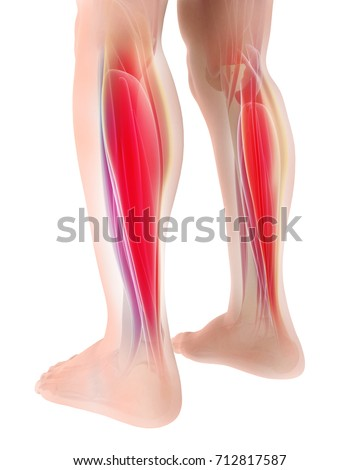3 D Illustration Gastrocnemius Part Legs Muscle Stock Illustration ...