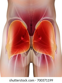 3D illustration of Gluteus Maximus, Part of Muscle Anatomy.