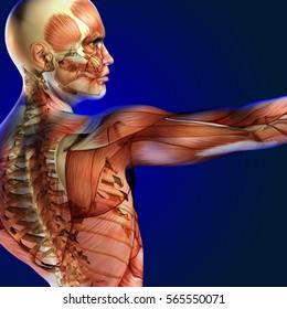 3d illustration human anatomy