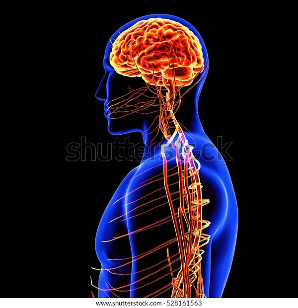 3d illustration human body brain