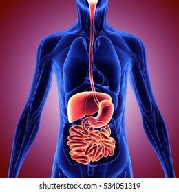 3d illustration human body digenitve system