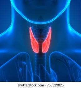 3D Illustration of Human Body Glands Anatomy (Lobes of Thyroid Gland)