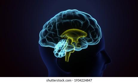 3d illustration of human body  interior brain anatomy