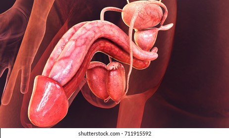 Male Reproductive System Images Stock Photos Vectors Shutterstock