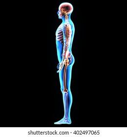 3D Illustration of Human Body Organs (skeleton Anatomy)