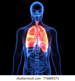 3d illustration human body respiratory system.