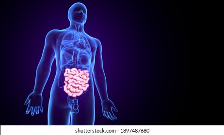3d illustration of human body small instance anatomy
