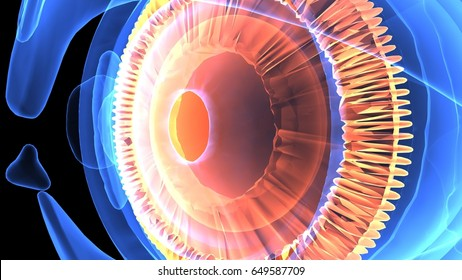 3d illustration of the human eye anatomy
