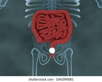 3D illustration of human Large Intestine with skelton