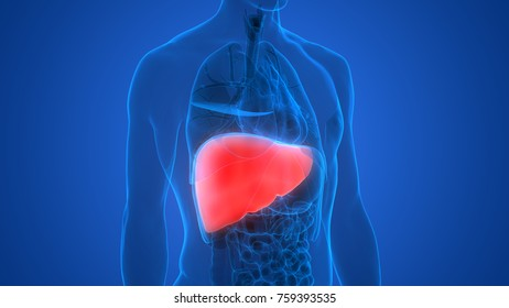 Human Liver Images, Stock Photos & Vectors | Shutterstock