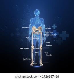 3d illustration human Lower limb