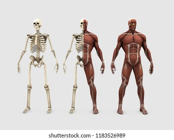 3d illustration of human muscles and bones